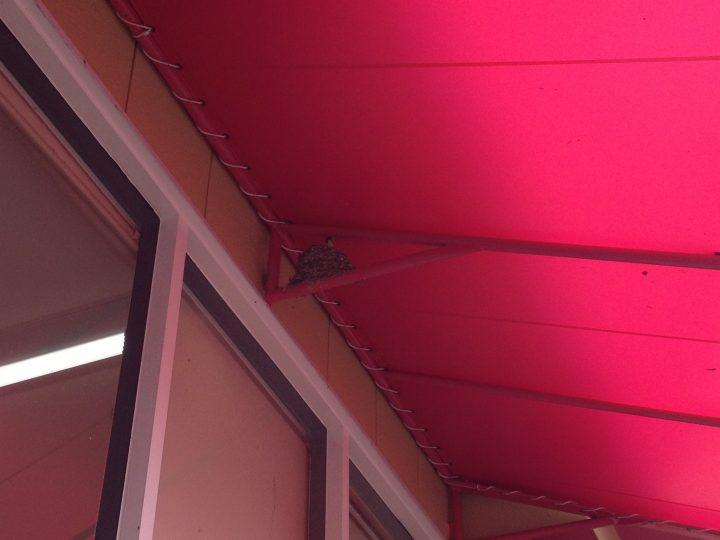軒先テントの下ではツバメが子育て中